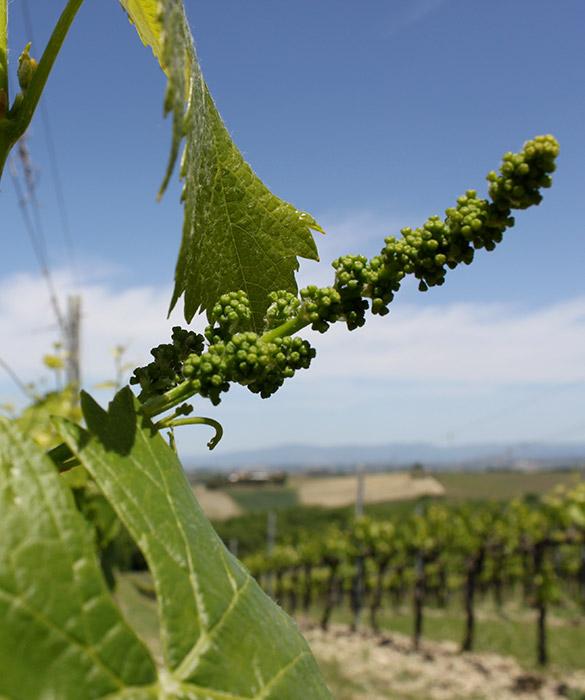 sviluppo grappolo uva